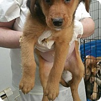 Adopt A Pet :: Mixed ret puppies - Pompton lakes, NJ
