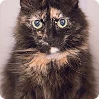Adopt A Pet :: Snickerdoodle - Merrifield, VA