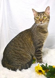 Domestic Shorthair Cat for adoption in St. Cloud, Florida - Lila