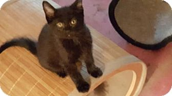 American Shorthair Kitten for adoption in Melbourne, Florida - Colette