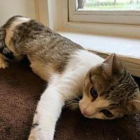 Adopt A Pet :: GiGi - Bourbonnais, IL