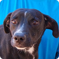 Beagle/Whippet Mix Dog for adoption in Las Vegas, Nevada - Bradford
