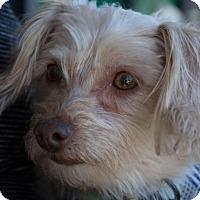 Adopt A Pet :: Summer - Phoenix, AZ