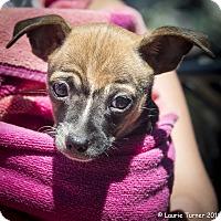 Adopt A Pet :: Sundance - San Marcos, CA