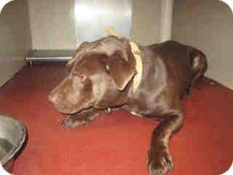 Labrador Retriever Mix Dog for adoption in Newnan City, Georgia - Brownie