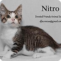 Adopt A Pet :: Nitro - Ortonville, MI