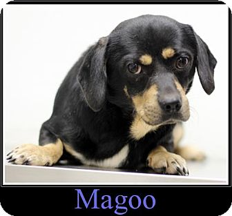 Pug/Labrador Retriever Mix Dog for adoption in Sullivan, Indiana - Magoo