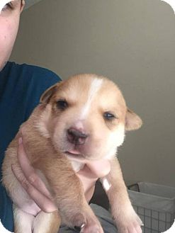 Labrador Retriever/Husky Mix Puppy for adoption in wolfeboro, New Hampshire - Nala