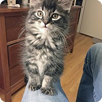 Maine Coon Kitten for adoption in Alameda, California - Chewbacca