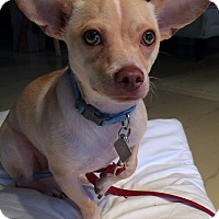 Chihuahua Mix Puppy for adoption in Simsbury, Connecticut - Moses - B
