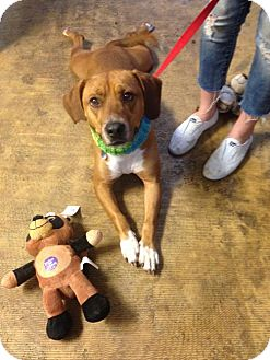 Labrador Retriever Mix Dog for adoption in Mt. Laurel, New Jersey - Burney