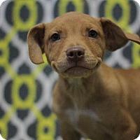 Labrador Retriever Mix Puppy for adoption in Murphysboro, Illinois - Pookie
