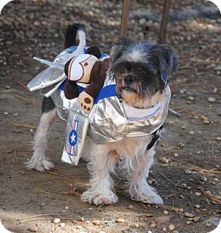 Shih Tzu Mix Dog for adoption in Philadelphia, Pennsylvania - Johan