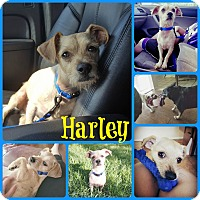 Adopt A Pet :: Harley - Ft Worth, TX