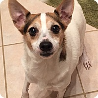 Rat Terrier Mix Dog for adoption in Orlando, Florida - Lil Debbie#2M (Jack)