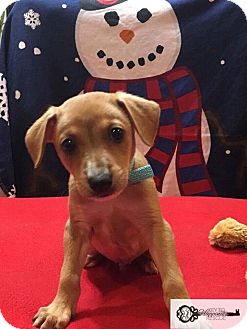 Shepherd (Unknown Type) Mix Puppy for adoption in DeForest, Wisconsin - Ace