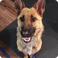 Adopt A Pet :: ANGEL - Winnipeg, MB