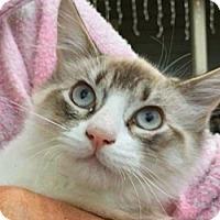 Adopt A Pet :: Snowflake - LaJolla, CA