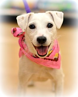 Jack Russell Terrier Mix Dog for adoption in Sparta, New Jersey - Calie - Courtesy Listing