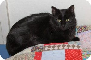 Domestic Longhair Cat for adoption in Eagan, Minnesota - Lorna