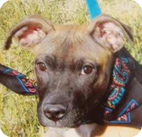 Boxer Mix Puppy for adoption in Brooklyn, New York - Barney