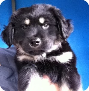 Labrador Retriever/Border Collie Mix Puppy for adoption in Gainesville, Florida - Weeble