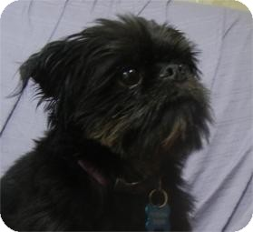 Brussels Griffon Dog for adoption in Antioch, Illinois - Griff ADOPTED!!