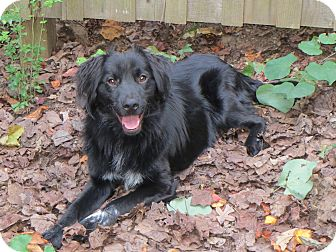 Spaniel (Unknown Type) Mix Dog for adoption in Brattleboro, Vermont - Kane