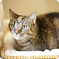 Adopt A Pet :: Shimmy - Chicago, IL