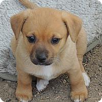 Adopt A Pet :: Evelyn - La Habra Heights, CA