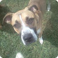 Adopt A Pet :: Dawson - Adoption Pending - Albany, NY