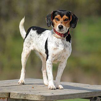 Beagle Mix Dog for adoption in Wood Dale, Illinois - Bobby