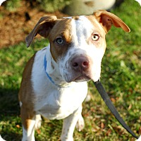 Terrier (Unknown Type, Medium)/Brittany Mix Puppy for adoption in Detroit, Michigan - Diesel