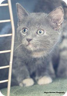 Domestic Shorthair Kitten for adoption in Nashville, Tennessee - Asher
