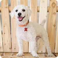 Bichon Frise Dog for adoption in Van Nuys, California - Yankee