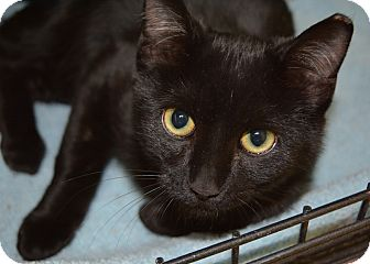 Domestic Shorthair Cat for adoption in Ogden, Utah - Haunt