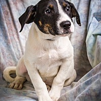 Treeing Walker Coonhound Mix Puppy for adoption in Anna, Illinois - KADE