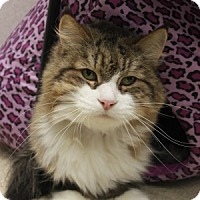 Domestic Longhair Cat for adoption in Naperville, Illinois - George