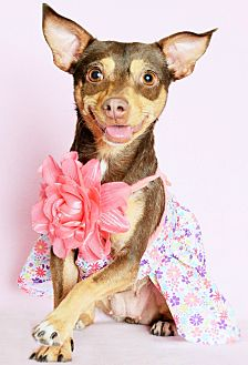 Miniature Pinscher/Chihuahua Mix Dog for adoption in Phoenix, Arizona - Padmé