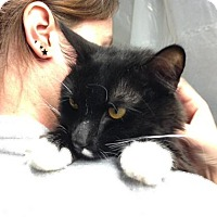 Domestic Shorthair Cat for adoption in Voorhees, New Jersey - Gabe