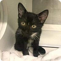 Adopt A Pet :: Hula - Sarasota, FL