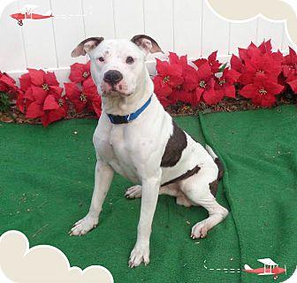 American Bulldog Mix Dog for adoption in Marietta, Georgia - GERANIMO