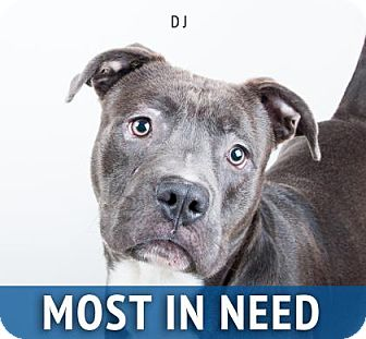 American Pit Bull Terrier Mix Dog for adoption in Decatur, Georgia - DJ (Real name)
