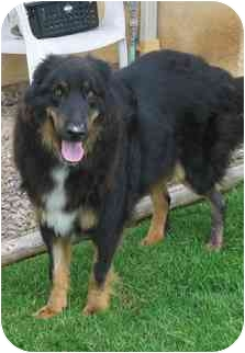 Collie/Retriever (Unknown Type) Mix Dog for adoption in San Diego, California - Wolfie
