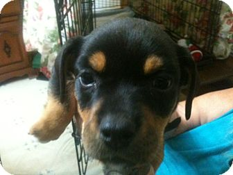 english bulldog chihuahua mix mindy adopted puppy russellville ar chihuahua 4172