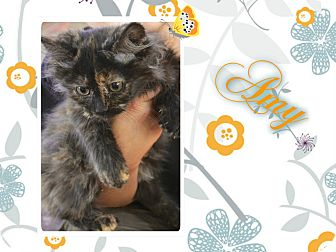 Domestic Longhair Kitten for adoption in Washington, D.C. - Amy
