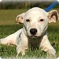 Adopt A Pet :: *Sierra - PENDING - Westport, CT
