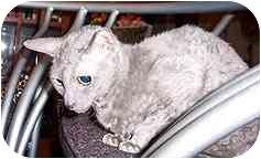 Cornish Rex Cat for adoption in Scottsdale, Arizona - Elizabeth