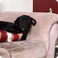 Adopt A Pet :: Pepsi - Oak Brook, IL