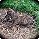 Adopt A Pet :: Bagel